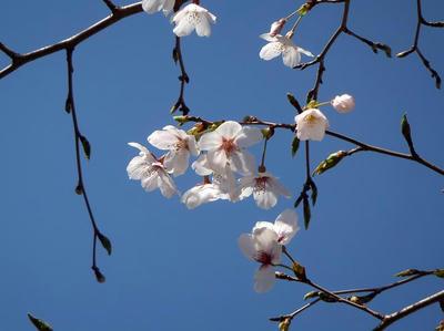 相模原の桜04:3月26日