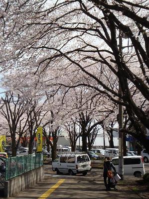 相模原の桜05:3月26日