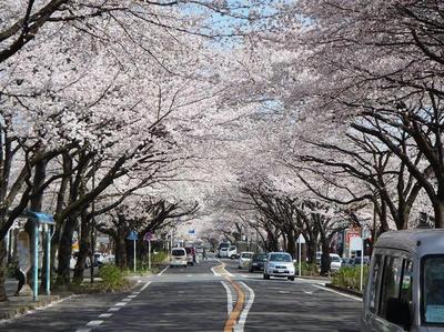 相模原の桜07:3月26日