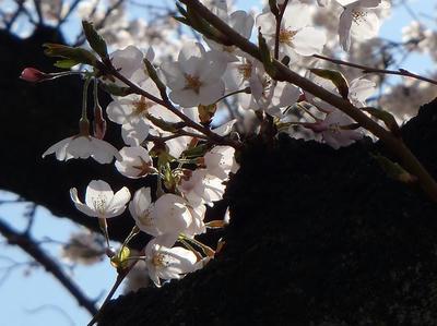 相模原の桜08:3月26日