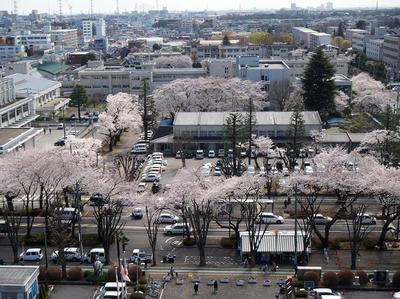 相模原の桜10(市役所展望台より):3月26日