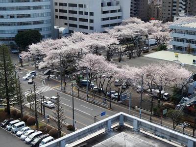 相模原の桜11(市役所展望台より):3月26日
