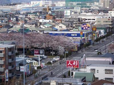 相模原の桜12(市役所展望台より):3月26日