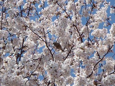 相模原の桜14:3月26日