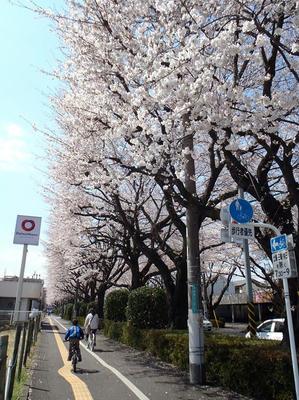 相模原の桜15:3月26日