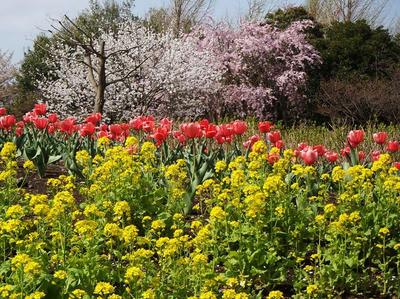 相模原北公園の菜の花とチューリップと桜:4月5日