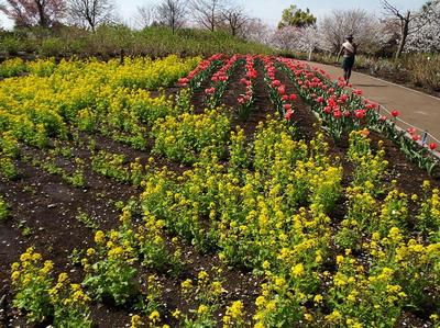 相模原北公園の菜の花とチューリップ:4月5日