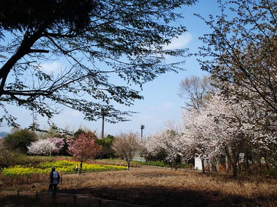 相模原北公園の菜の花とチューリップと桜全景:4月5日