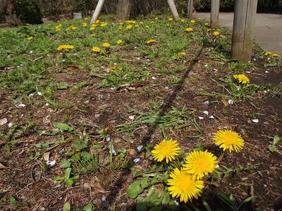 相模原北公園の梅の木の下に咲くタンポポ。:4月5日