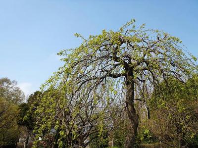 相模原北公園の梅:4月5日