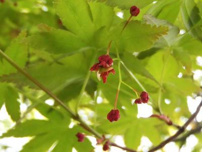 相模原北公園のモミジの花:4月5日