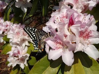相模原北公園のシャクナゲの蜜を吸うアゲハ:4月12日