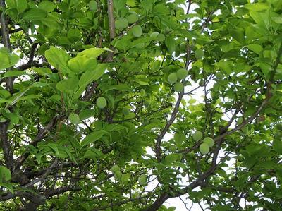 相模原北公園の梅の実:2013年4月30日