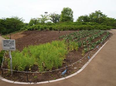 相模原北公園の菜の花とチューリップは終わり:2013年4月30日