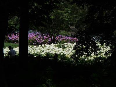 相模原北公園のアジサイ:2013年6月23日