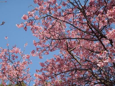 相模原北公園の花:2014年3月25日