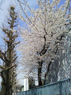 相模原の桜:2014年4月2日