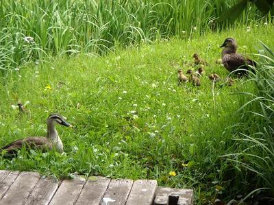 相模原北公園のカルガモ親子20140520