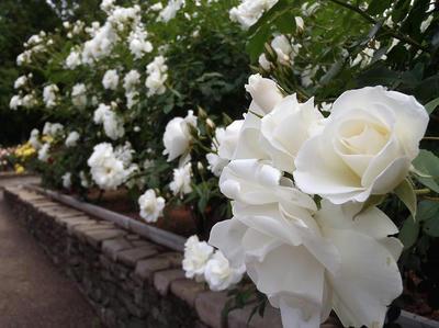 相模原北公園のバラ20140520