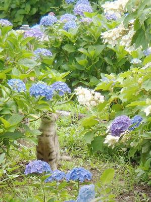 相模原北公園のアジサイとネコ:2014年6月21日