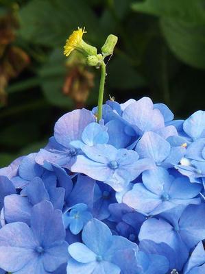 相模原北公園のアジサイにタンポポ:2014年6月21日