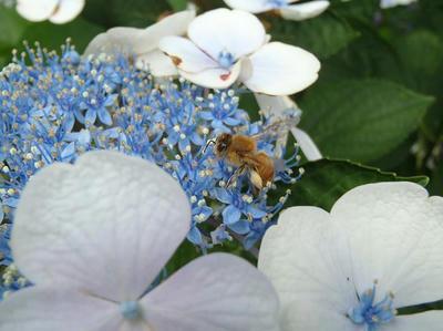 相模原北公園のアジサイとミツバチ:2014年7月9日