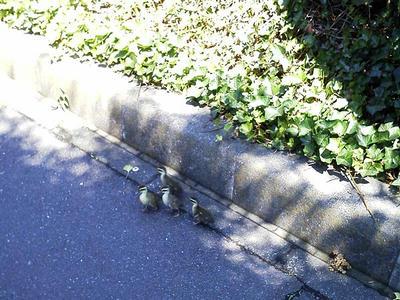 歩道をうろつくカルガモのヒナ