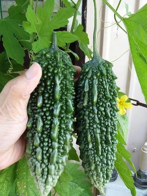 我が家のゴーヤ初収穫:2014年7月16日