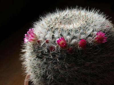 開花した100均サボテン2014年12月6日