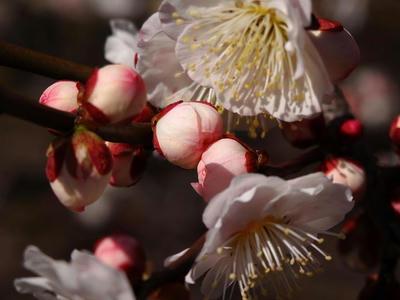 相模原北公園の梅:2015年3月2日