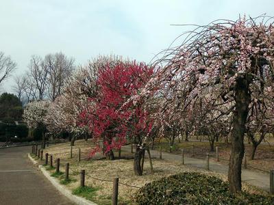 相模原北公園の梅:2015年3月14日