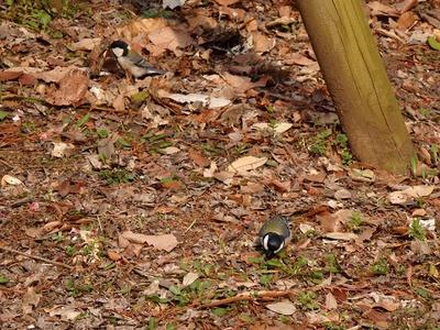 相模原北公園のシジュウカラ:2015年3月14日