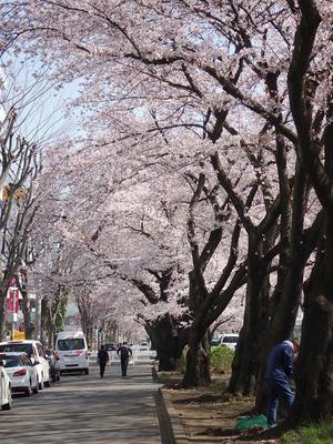相模原市役所前通りの桜:2015年3月31日