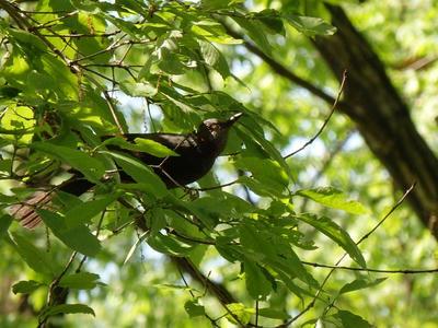 相模原北公園:4月23日のヒヨドリ