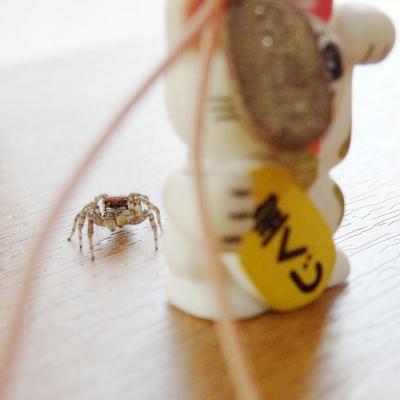 ミスジハエトリグモ♂