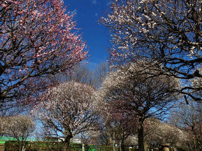 相模原北公園の梅:2017年2月13日