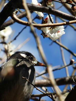 相模原北公園の梅とムクドリ:2017年2月13日