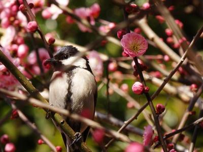 相模原北公園の梅とシジュウカラ:2017年2月13日