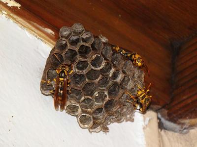 ヤマトアシナガバチが巣に帰還