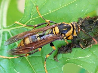 スズメバチの襲来を受けて退避中のヤマトアシナガバチ