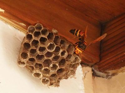 ヤマトアシナガバチの巣にスズメバチ襲来
