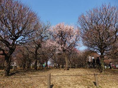 相模原北公園の梅:2018年2月24日