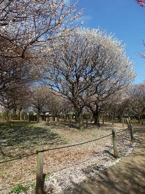 相模原北公園の梅:2018年3月17日