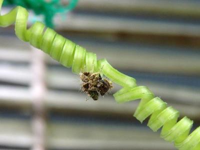 クサカゲロウの幼虫