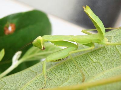 ハラビロカマキリの幼体