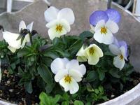 こぼれ種で咲いたビオラ