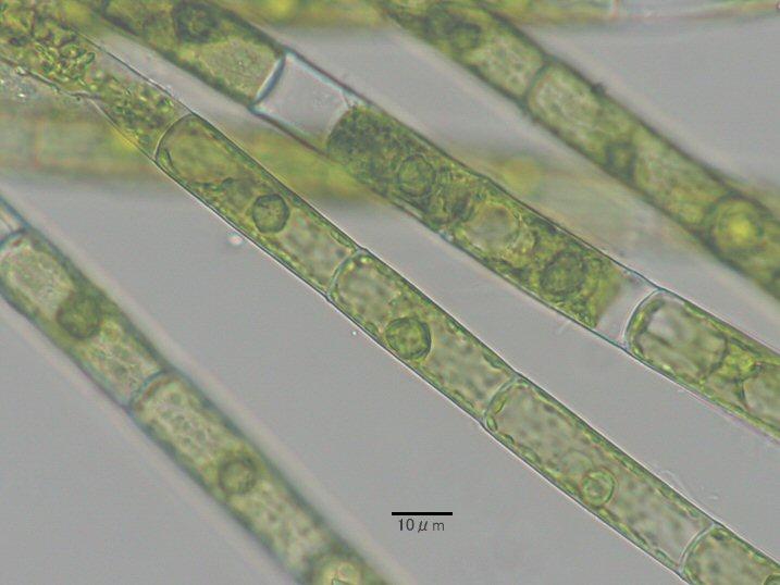 珪藻メモ - 緑藻類
