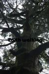 玉置神社の杉