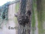 ローマで見つけた犬の形をした木