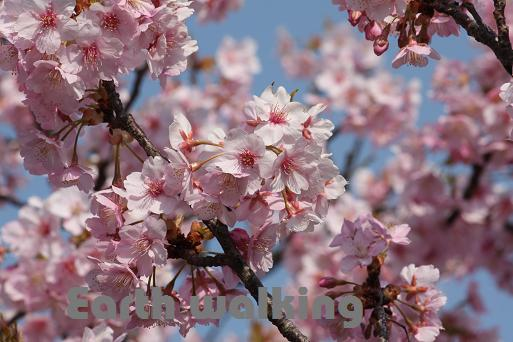 『なばなの里』の桜